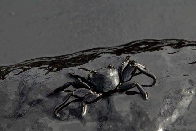 Crab with oil spill