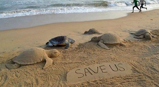 Olive Ridley An Endangered Turtles In Odisha Laid 3.55 Lakh Eggs In A Week
