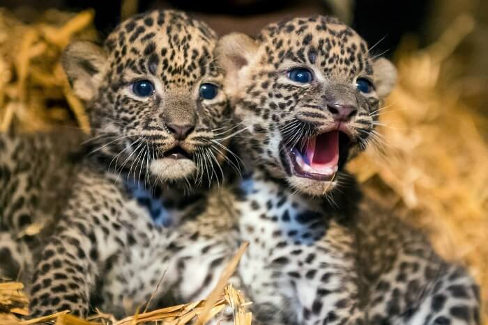 A 6-Year-Old Boy Mistakes Leopard Cubs For Cats, Brings Them Home, Played & Feeds Them