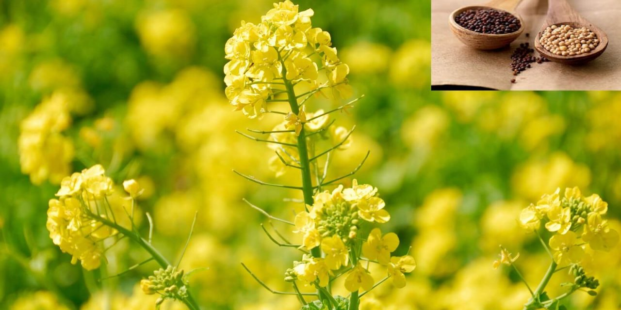 Is GM Mustard Necessary for India? The Important Decision Pending with Environment Ministry