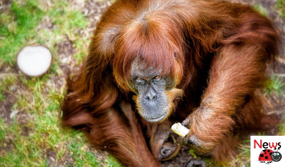 World's Oldest Sumatran Orangutan