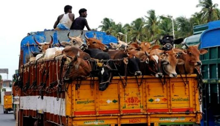 Cattle Trafficking  in India