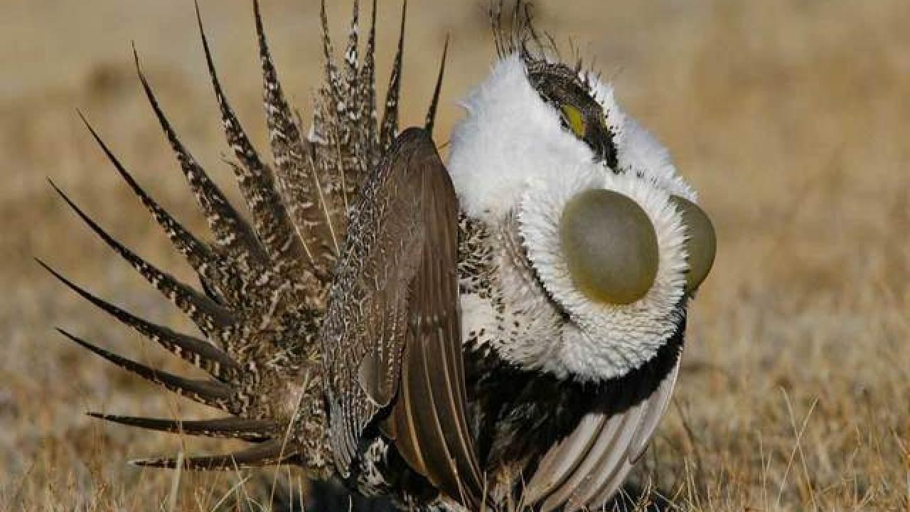 Grouse Bird