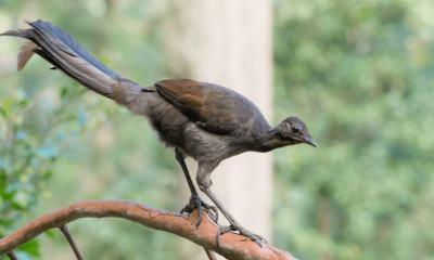 Suraga Bird