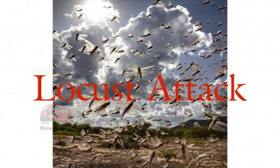 Locust Attack News